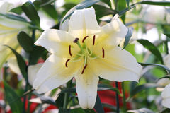 White mix yellow of lily flower are blooming. White mix yellow of lily flower are blooming in the flower garden Stock Image