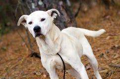 White mixed breed dog adoption photo, Walton County Animal Control. White boxer bulldog mutt pet adoption photography, humane society royalty free stock images