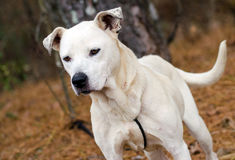 White mixed breed dog adoption photo, Walton County Animal Control. Male boxer bulldog mix breed mutt, adoption photo for humane society stock image