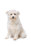 White Mixed breed dog Royalty Free Stock Image