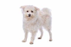 White Mixed breed dog Stock Image