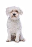 White mixed breed dog Stock Photos
