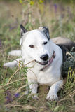 White Mixed Breed Dog With Stick Stock Image