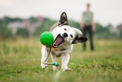A white mixed breed dog tries to catch up a green ball. A white mixed breed dog tries to catch up and grab a green ball thrown by a girl. Active dog have a Royalty Free Stock Photography