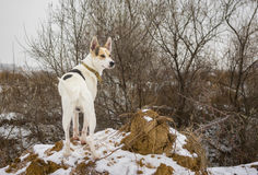 White mixed breed dog watching nearest to his home territory standing on a loamy hillock. Outdoor portrait of white mixed breed dog watching nearest to his home royalty free stock images