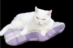 White mixed-breed female cat lying on the pillow. Black background. Stock Photography