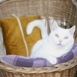 White mixed-breed female cat lying in the wicker chair. Royalty Free Stock Photo