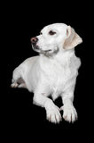 White Mixed-Breed Looks to Side Royalty Free Stock Images