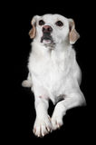 White Mixed-Breed Looks Up Stock Photo