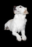 White Mixed-Breed Looks Up to Side Royalty Free Stock Image