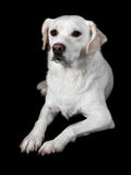 White Mixed-Breed Looks at Viewer Royalty Free Stock Photography