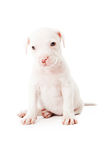 White Mixed Breed Puppy Royalty Free Stock Photos