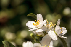 White mock orange blossom flowers, Philadelphus lewisii Stock Photo