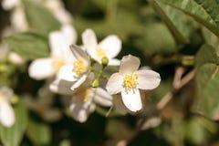 White mock orange blossom flowers, Philadelphus lewisii Stock Photography
