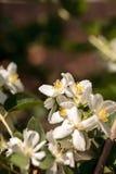 White mock orange blossom flowers, Philadelphus lewisii Royalty Free Stock Photo