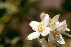 White mock orange blossom flowers, Philadelphus lewisii Stock Images