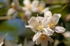 White mock orange blossom flowers, Philadelphus lewisii Royalty Free Stock Photos