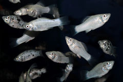 White molly aquarium fish Stock Photos
