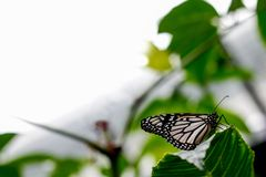 The White Monarch Butterfly. A beautiful White Wanderer or Monarch Butterfly Resting on a leaf royalty free stock photos