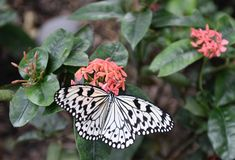 A White Monarch Butterfly Royalty Free Stock Image