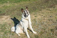 White mongrel stay outdoor. Summer day Royalty Free Stock Images