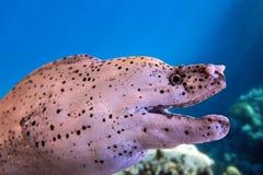White moray eel Royalty Free Stock Image