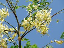 White Moringa Bouquet on the tree. Moringa is a medicinal plant. As both vegetable and medicine royalty free stock images