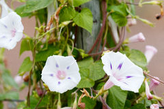 White Morning glory flowers growing Royalty Free Stock Photo