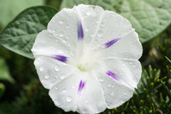 White Morning Glory. With purple strips and morning dew Stock Photography