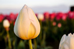 White Morning Tulip stock photography