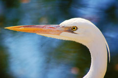 White Morph Great White Heron Stock Photo