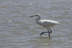 White Morph of Reddish Egret Stock Images