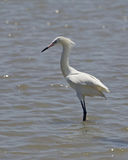 White Morph of Reddish Egret Stock Photos