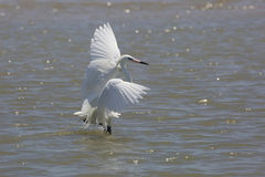 White Morph of Reddish Egret Foraging for Food Stock Images