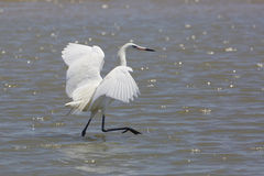 White Morph of Reddish Egret Foraging for Food Stock Photo