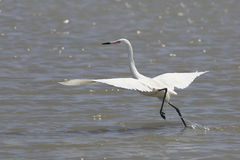 White Morph of Reddish Egret Taking Flight Royalty Free Stock Photography