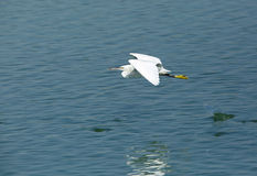White morphed western reef heron  in flight Stock Image