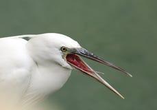 White morphed western reef heron Royalty Free Stock Photo