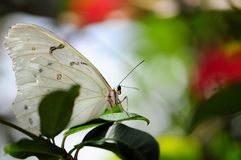 White Morpho Butterfly royalty free stock image