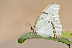 White Morpho butterfly Royalty Free Stock Photos