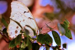 White Morpho butterfly in aviary Royalty Free Stock Image