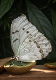 White morpho butterfly Royalty Free Stock Photography