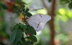 White Morpho. Butterfly at Butterfly World in Coconut Creek FL Stock Photos