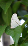 White Morpho Stock Photo