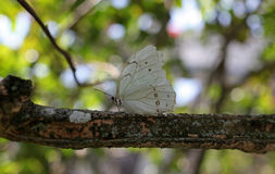 White Morpho Royalty Free Stock Photos
