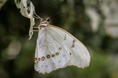 White Morpho Butterfly Royalty Free Stock Images