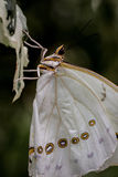 White Morpho Butterfly Royalty Free Stock Photo