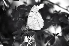 White Morpho (Morpho polyphemus) Butterfly Royalty Free Stock Photos