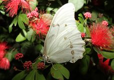 White Morpho Butterfly on a plant royalty free stock images