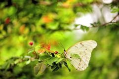 White Morpho butterfly with red flowers Stock Photo